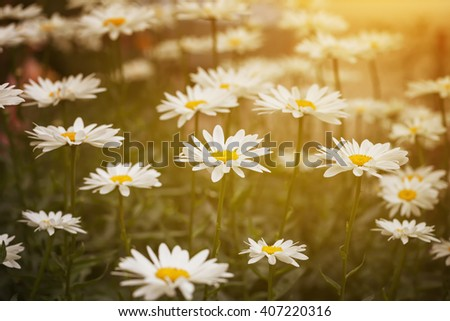 Background of daisies in green leaves in the sunlight