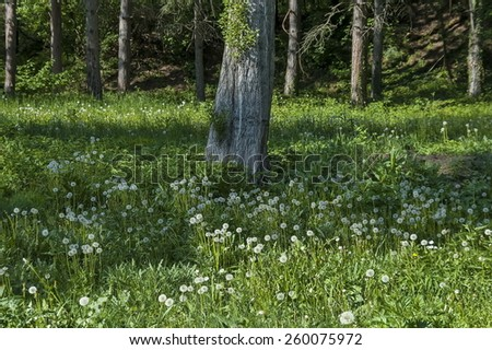 Background of dandelion or Tarataxum officinale, dandelion clock  and  tree whit sprout  - stock photo