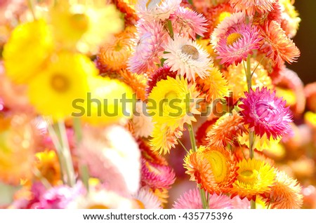 Background of Everlasting flowers, shallow focus