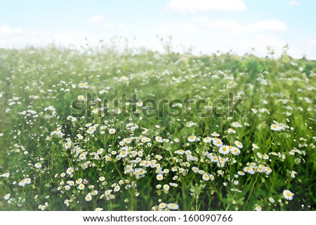 Background of flowers. Chamomile field. Photo. - stock photo