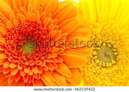 Background of flowers of yellow and orange gerbera, close up .