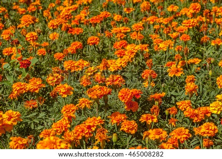 background of flowers tagetes, orange marigold, a beautiful sunny day