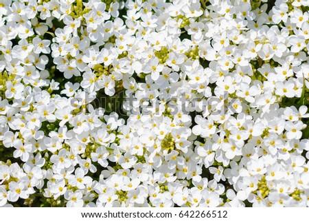 Background flowers white flower arabis caucasian stock photo background of flowers white flower of arabis caucasian rock cress flower or garden arabis mightylinksfo