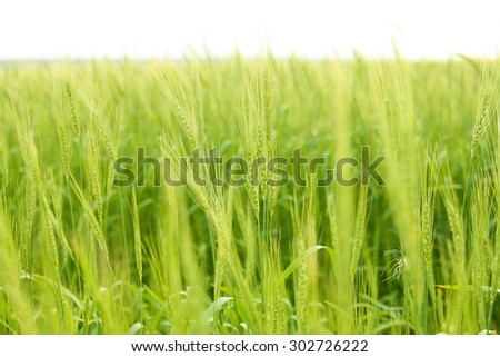 Background of fresh spring Green yellow wheat field ears close up with shallow depth Nature backdrop Copy space of setting sun on horizon in rural meadow Close up nature photo Idea of a rich harvest - stock photo
