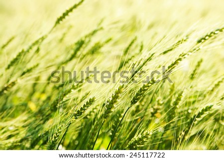 Background of fresh spring Green yellow wheat field ears close up with shallow depth Nature backdrop - stock photo