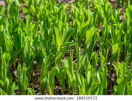 Background of green leaves of lily of valley is in sun backlit.