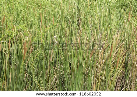 Background of green reeds with bulrushes - stock photo