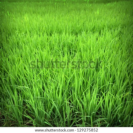 Background of Green rice fields, Thailand - stock photo