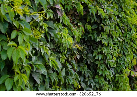 Background of green Virginia creeper leaves  - stock photo