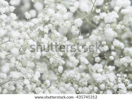 Background of Gypsophila (baby's-breath) flowers , Wedding Concept - stock photo