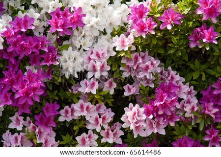 Background of Japanese pink white and purple azaleas - stock photo