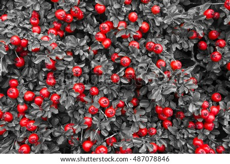 background of leaves and red berries in Norway
