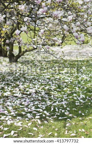 Background of magnolia blossoms in the spring, white and pink magnolia blooming - stock photo