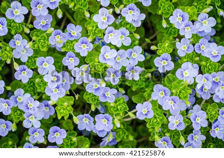 Background of many blue flowers and leaves. forget-me-not - stock photo