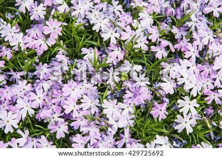 Background of Phlox subulata flowers - Creeping phlox or Moss phlox or Moss pink or Mountain phlox. Gardening theme. Natural background. Seasonal natural scene. - stock photo