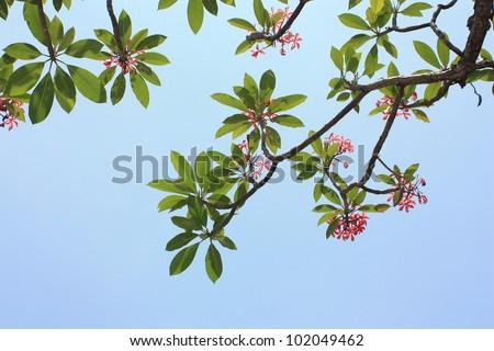Background of Plumeria (frangipani) tree. - stock photo