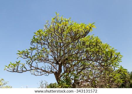 Background of Plumeria (frangipani) tree.texture - stock photo