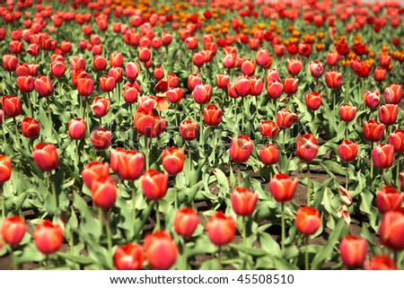 Background of red tulips in the city at summer - stock photo