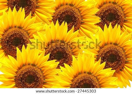 background of sunflowers in summer with copyspace for text - stock photo