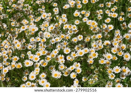 Background of the daisies growing on the field - stock photo