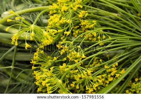 background of the flowers of dill. macro - stock photo