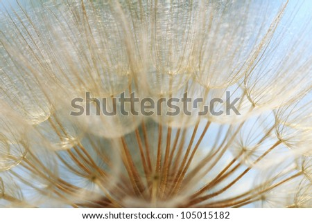 Background of the seeds of a dandelion closeup - stock photo