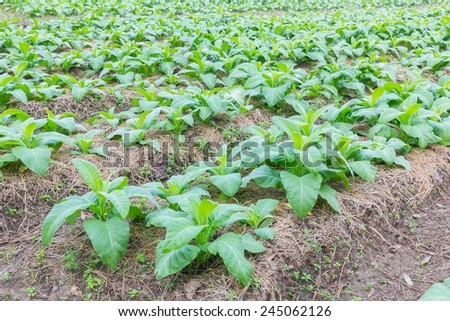 background of tobacco farm in morning, thailand - stock photo