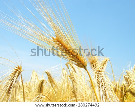 background of wheat field  - stock photo