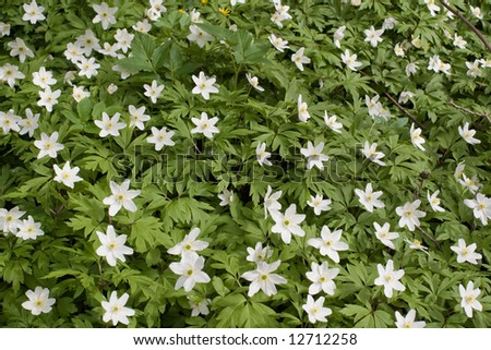 background of wild  forest anemones - stock photo