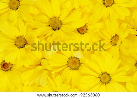 background of yellow daisies. close up flowers - stock photo
