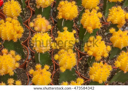 Background of yellow flowers cactus in the garden.