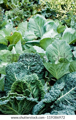 background of young collard and cabbage plants growing in vegetable garden - stock photo
