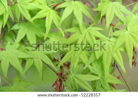 Background pattern of young maple
