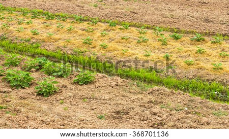 Background plantation eggplant seedlings growing with the use of straw mulch retains moisture. - stock photo