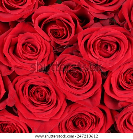 Background red roses blossoms on birthday, Valentine's or mothers day - stock photo