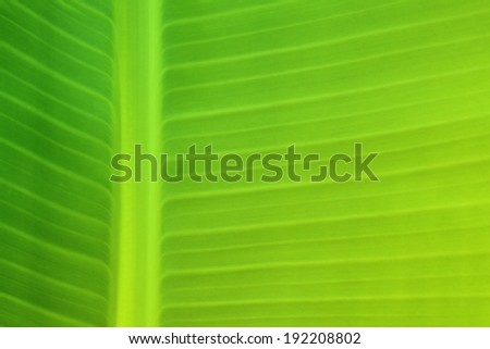 Background texture of banana leaf for your design - stock photo
