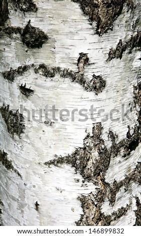 Background texture of birch bark  - stock photo