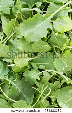 Background texture of fresh green baby kale leaves that have been washed and drained ready for use in a salad - stock photo