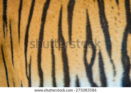 background textured of real bengal tiger fur - stock photo