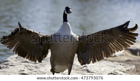 Background with a Canada goose with the wings opened