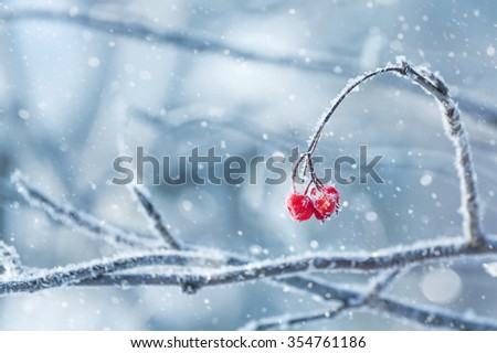 Background with a mountain ash cluster in snow - stock photo