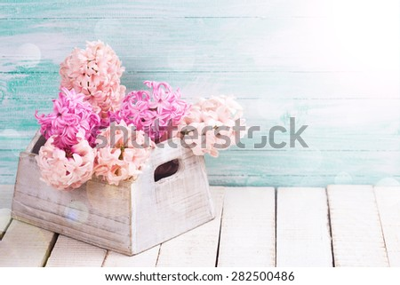 Background with fresh  blush pink hyacinths in wooden box in ray of light on white wooden planks against turquoise wall. Selective focus. Place for text. - stock photo
