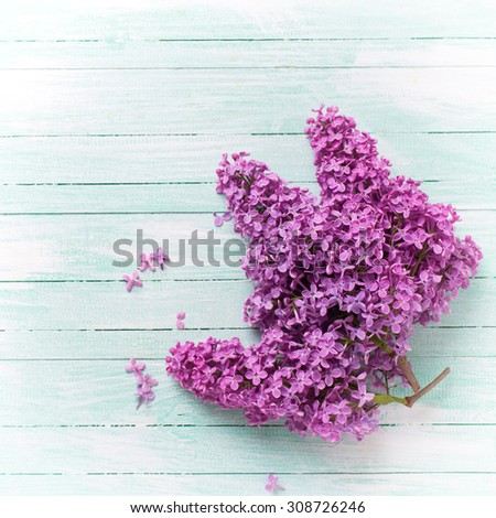 Background  with fresh lilac flowers  on turquoise painted wooden planks. Selective focus. Place for text. Square image. - stock photo