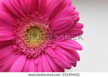 Background with pink gerber. It can be used as a background for postcard or invitation cards. - stock photo
