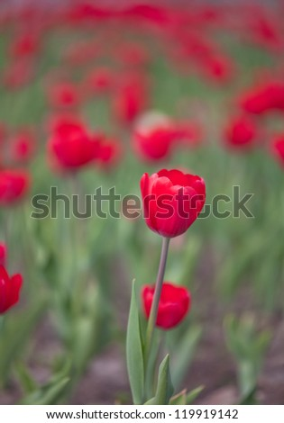 background with red tulips in green grass