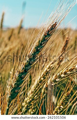 Background with spikes of wheat, undergoing ripening, on a field. - stock photo