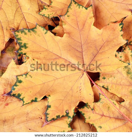 background with yellow maple leaves in fall, instagram effect, square image - stock photo