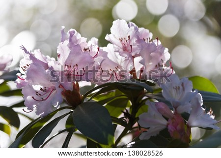 Backlight pink Rhododendron flowers in spring and bokeh in background - stock photo