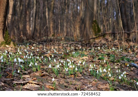 Backlighting with spring sun snowdrops. First spring flowers - stock photo