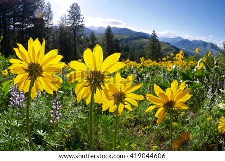 Backlit Big Wild Flowers in Alpine Meadows.  Balsam Root blooming on Patterson Mountain near Winthrop, North Cascades National Park, Washington State, USA.   - stock photo